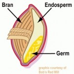 Endosperm contains gluten